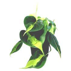 1000 id es sur le th me philodendron sur pinterest plantes plantes vertes et plante d 39 int rieur. Black Bedroom Furniture Sets. Home Design Ideas