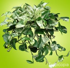 Marble Queen Pothos Plant | Grow Care Tips| HousePlant411.com | Houseplant 411 - How to Identify and Care for Houseplants