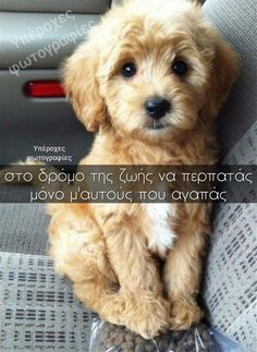 Havanese – Intelligent and Funny Animals And Pets, Funny Animals, Dog Words, Kittens And Puppies, Greek Words, Greek Quotes, Picture Quotes, Havanese Haircuts, Pictures