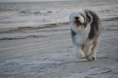 Abby loves to run on the beach in HHI, SC 2015