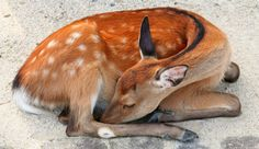 Baby deer curled up taking a nap Sleeping Animals, Sleeping Kitten, Animals And Pets, Baby Animals, Cute Animals, Deer Pictures, Animal Pictures, Sleep Curls, Deer Photography