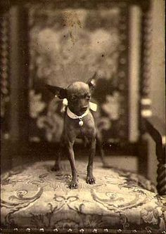 Empire of the Chihuahua: Vintage Photographs Anique cabinet photo of a chihuahua photographed by C. M. Bell of Washington, D.C.