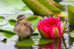 Baby duck strolling along on lily pads .so adorable. Cute Baby Animals, Farm Animals, Animals And Pets, Nature Animals, Beautiful Birds, Animals Beautiful, Canard Colvert, Baby Ducks, Mundo Animal