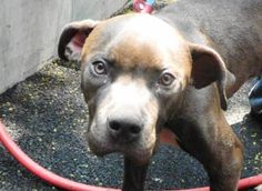 TO BE DESTROYED - 06/02/12  Manhattan Center    My name is ADAM. My Animal ID # is A0933740.  I am a male gray and white pit bull mix. The shelter thinks I am about 1 year 1 month old.    I came in the shelter as a STRAY on 05/27/2012 from NY 11208, owner surrender reason stated was STRAY.