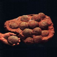 我们去居民家河源收…Fossilized Dinosaur Eggs