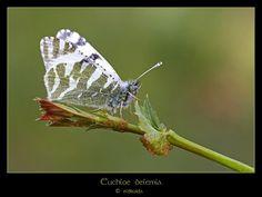 Ni un día sin su mariposa: Euchloe belemia | El blog de El Druida