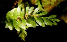"""Tmesipteris (hanging fork-ferns) can often be found with lighter bag-like sporangia at the bases of some of their """"leaves"""". The plants possess no true leaves; what appear to be leaves are flattened stems."""
