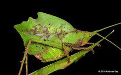 https://flic.kr/p/LV35vU | Leaf mimicking katydid, Typophyllum morrisi | from Ecuador: www.flickr.com/andreaskay/albums
