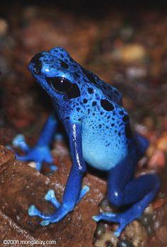 Blue poison dart frog (Dendrobates azureus)