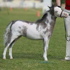 miniature horses | Pixie Valley Miniature Horses