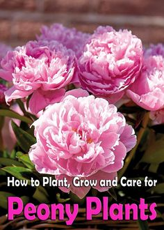 Peonies: How to Plant, Grow and Care for Peony Plants The herbaceous Peony has been cultivated in home gardens for over 600 years. Considering the beauty of the flower and the longevity of the plants, it's no wonder why they have long been a perennial favorite... #gardening #flower #flowergardening
