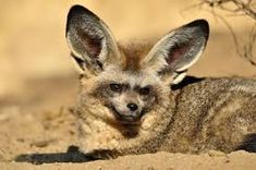 Nature Story: what does bat-eared fox eat Otter Facts, Fox Facts, List Of Animals, Large Animals, Animal List, Unique Animals, Cute Animals Puppies, Cute Baby Animals, Fox Habitat
