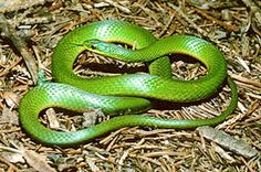 "Smooth green snake (Opheodrys vernalis) is slender. In size, it is classified as a ""small medium"" snake,reaching to 36–51 cm (14–20 in) in total length as an adult.  The tail makes up about 1/4 to 1/2 the total length of the snake"
