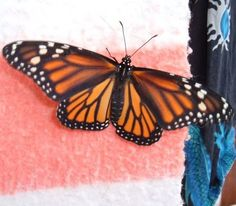 Monarch Butterflies - how to help them - Monarch Butterfly conservation