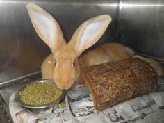 #CALIFORNIA ~ ID A372788 is an #adoptable Bunny Rabbit in #Modesto at STANISLAUS ANIMAL SERVICES  3647 Cornucopia Way   #Modesto CA 95358  champostmaster@stancounty.com   Ph 209 558 7387