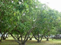 Avocado Trees in the midst of RVs