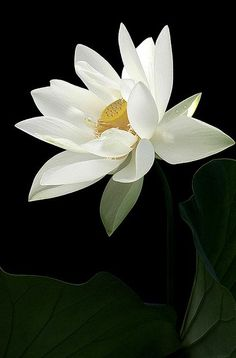 hungariansoul:  magnoliaviolette:  wasbella102:  White Lotus Flower by Bahman Farzad   ♥  ~♥~