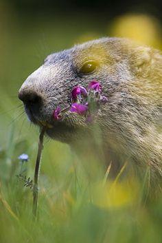 18. Marmotte des Alpes
