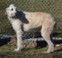 Meet Fiona, an adoptable Irish Wolfhound looking for a forever home. If you're looking for a new pet to adopt or want information on how to get involved with adoptable pets, Petfinder.com is a great resource.