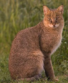This is a Jungle Cat common in Asia and India. They resemble a Lynx because of their tufts of hair above the ears but Jungle Cats are not related to Lynx. They are known to swim short distances. by rhea Small Wild Cats, Big Cats, Cats And Kittens, Cute Cats, Beautiful Cats, Animals Beautiful, Cute Animals, Serval, Chausie Cat