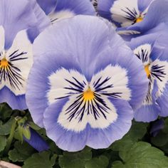 This lovely variety sports extra-large, lavender blue flowers, each with a dazzling white 'face' and contrasting violet whiskers.