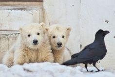 Polar Bear twins and a Raven at Maruyama Zoo in Hokkaido, Japan