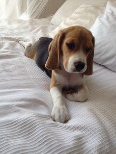 A cute Beagle puppy!