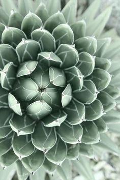 Succulent in pale mi