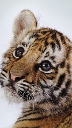 Sweet little tiger funny animals, cute baby animals, animals and pets, cute c Cute Baby Animals, Animals And Pets, Funny Animals, Big Animals, Big Cats, Cats And Kittens, Cute Cats, Siamese Cats, Beautiful Cats