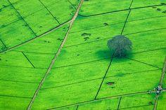 Tea plantation just north of Nairobi, Kenya (shot taken from a small plane)