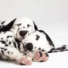 SLEEPY DALMATIAN PUPS <3<3<3<3
