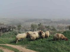 Sheep of biblical Isreal   ... Kedumim, Israel Tours, Israel Hotels, Israel Tourism, Gems in Israel
