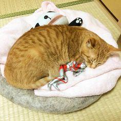 正義の味方ウルトラマンに見守られて「スクスク育った子猫」がめちゃ可愛い! - Spotlight (スポットライト)