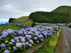 hydrangeas in the Azores Places To Travel, Places To Go, Portugal, Hydrangea Flower, Hydrangeas, Flower Wallpaper, Old Buildings, Natural Beauty, Scenery