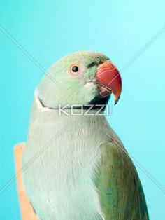 close-up shot of a parrot. - Close-up shot of a parrot isolated against turquoise background.