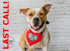 SAFE --- ROCKY - ID#A1665045  I am a neutered male, brown and white American Bulldog.  The shelter staff think I am about 2 years old  I have been at the shelter since Dec 21, 2014. — hier: Miami Dade County Animal Services. https://www.facebook.com/urgentdogsofmiami/photos/pb.191859757515102.-2207520000.1421108087./909889632378774/?type=3&theater