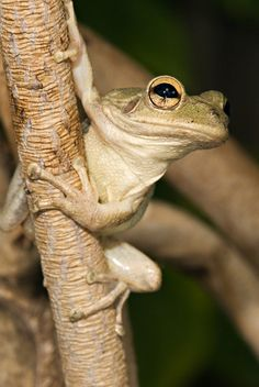 """Cuban Tree Frog:these frogs are very intelligent.  They are alien to FL and are supposed to be killed if found.  They are eating our little """"greenies."""""""