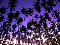 purple palm trees