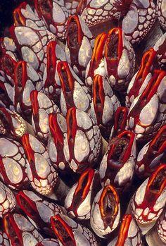 Gooseneck barnacles, Nakwakto Rapids, British Columbia (via Science › Sea Life/Shells) Under The Water, Under The Sea, Bottom Of The Ocean, Underwater Creatures, Underwater Life, Gooseneck Barnacles, Deep Blue Sea, Sea And Ocean, Patterns In Nature