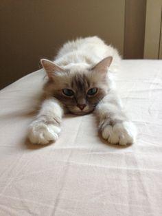 Birman Kittens   Sherazade , My Birman Cat while stretch herself!!!