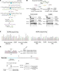 Kcnq1ot1 is a long noncoding ribonucleic acid (RNA; lncRNA) that participates in the regulation of genes within the Kcnq1 imprinting domain....
