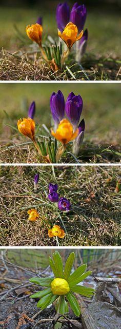 Laut dem meteorologischen Kalender fängt heute der Frühling an und auf der Insel Usedom ist er voll im Gange. Die Krokusse, Schneeglöckchen und Winterlinge blühen und die Sonne strahlt. Auf geht's! Eure Urlaubsunterkunft für einen Kurztrip im Frühling findet ihr hier: http://www.usedomtravel.de/Unterkuenfte/Search.html  #usedom #spring  #blumen #flowers #crocus #krokus #winterling #aconite