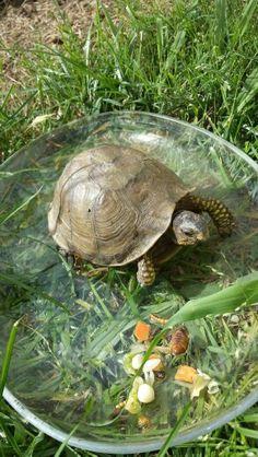 Abby (box turtle) eating her breakfast ========================= Bonjour, pour les bijoux Gaby Féerie => http://www.alittlemarket.com/boutique/gaby_feerie-132444.html