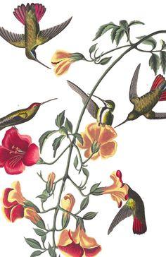 Mango Hummingbird   John James Audubon's Birds of America