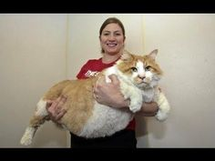 Top 5 de gatos gigantescos