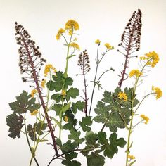 When running in the #twiske I always look for beautiful #plant #silhouettes. A week ago I picked (sorry) and dried these ones: #rapeseed, #buttercup and #butterbur with its giant #leaves (didn't pick those). Day 19 of my #100daysofbotanicalcollages