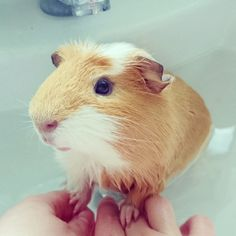 Splish splash every piggie needs a bath! Believe it or not as cute as they look our guinea pigs need to be bathed in order to wash away any nasty smells, clean those dirty feet and make that coat a…