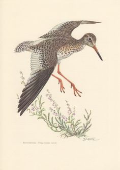 1956 Common Redshank Antique Print Vintage by Craftissimo on Etsy, €12.95