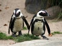 Wirklich Pinguin 2.0 Schuld Vagas, Animals, Seo, Internet, Tools, Penguins, Animal Shelters, Blame, Animales