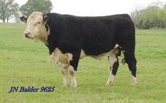 Black Baldy Association | Black Hereford Cattle